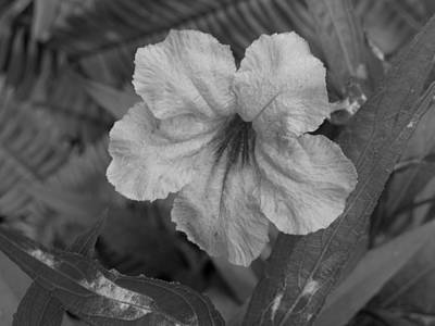 Photograph - Ruellia by Ron Davidson