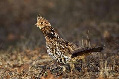 Photograph - Ruffed Grouse by Ronald Lutz