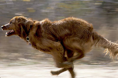 Running Golden Retriever Art Print by William H. Mullins