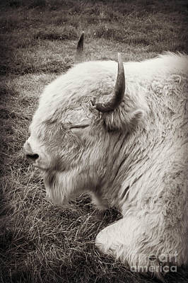 Photograph - Sacred Buffalo by Chris Scroggins