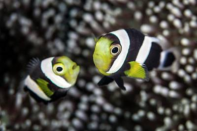 Clown Pair Photograph - Saddleback Anemonefish by Ethan Daniels