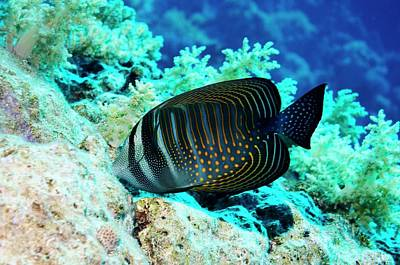 Sailfin Tang Fish Art Print