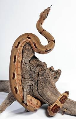 Salmon Boa Constrictor Art Print