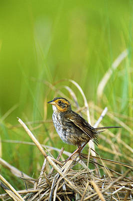 Saltmarsh Sharp-tailed Sparrow Art Print