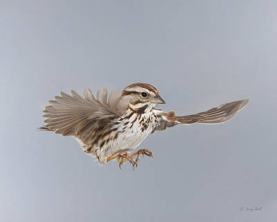Photograph - Sammy The Song Sparrow by Gerry Sibell