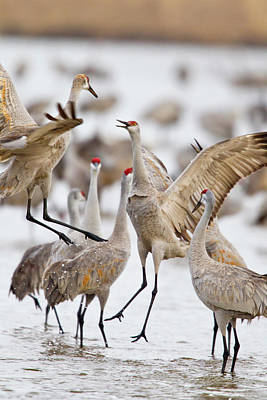 Sandhill Cranes Dancing On The Platte Print by Chuck Haney
