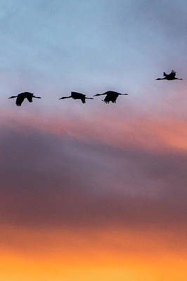 Sandhill Cranes Flying At Sunset Art Print