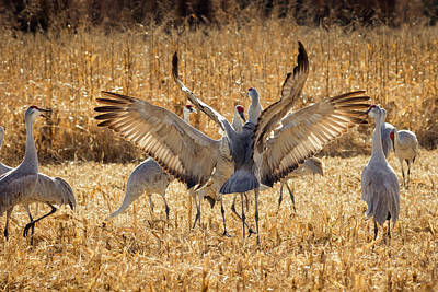 Migratory Photograph - Sandhill Cranes In The Corn Fields by Maresa Pryor
