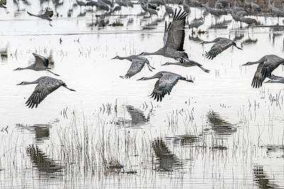 Photograph - $250 16x20 Canvas Available ---sold 12x18 Metal - Sandhill Cranes by Tam Ryan