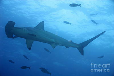 Scalloped Hammerhead Sharks Art Print by Sami Sarkis