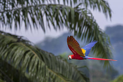 Osa Wall Art - Photograph - Scarlet Macaw by John Shaw