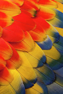 Scarlet Macaw Photograph - Scarlet Macaw Wing Covert Feathers by Darrell Gulin
