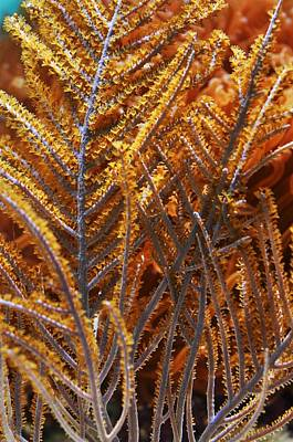 Photograph - Sea Fan  by Puzzles Shum