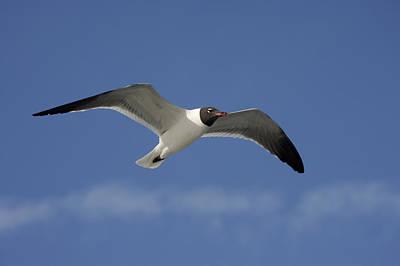Photograph - Seagull In Flight by Byron Jorjorian