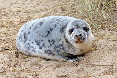 Photograph - Seal Pup by Paula Guy