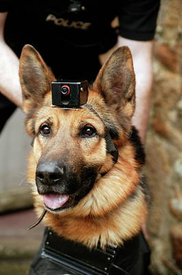 Alsatian Wall Art - Photograph - Search To Contact Dog by Michael Donne/science Photo Library