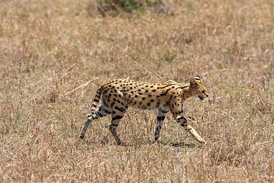 Photograph - Serval Cat  by Aidan Moran
