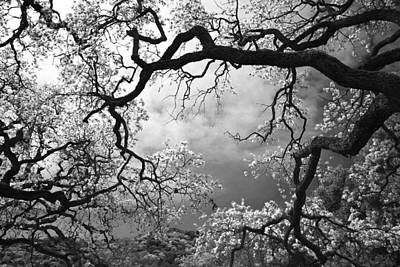 Oak Trees Photograph - Sheltering Sky  by Laurie Search