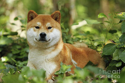 Shiba Inu Dog Art Print by Jean-Michel Labat