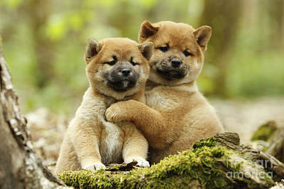 Japanese Puppy Photograph - Shiba Inu Puppies by Jean-Michel Labat