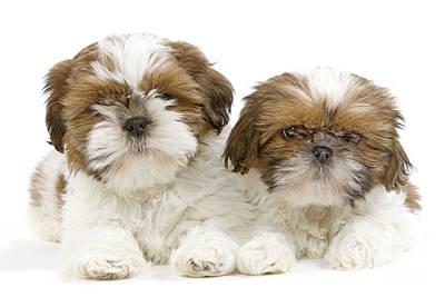 Shih Tzu Puppy Dogs Art Print by Jean-Michel Labat