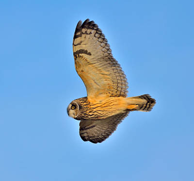 Short-eared Owl In Flight Art Print