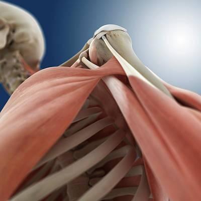 Shoulder Anatomy Art Print by Springer Medizin