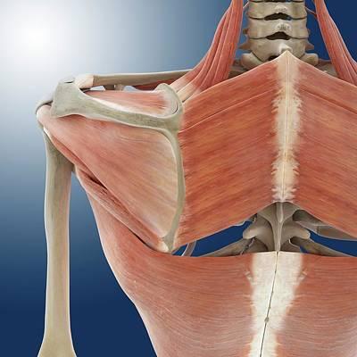 Articulation Photograph - Shoulder And Back Anatomy by Springer Medizin