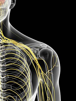 Shoulder Nerves Art Print by Sciepro