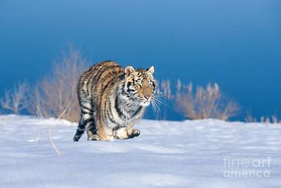Siberian Tiger Print by Alan Carey