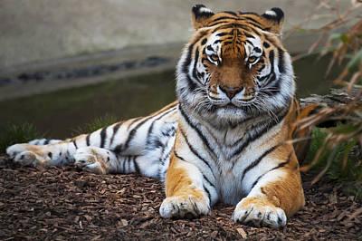 Siberian Tiger Art Print by Svetlana Sewell