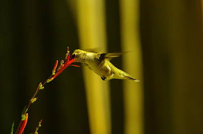 Birds Living In Nature Photograph - Sipping Nectar by Jeff Swan