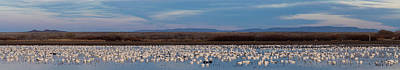 Flock Of Geese Photograph - Snow Geese Chen Caerulescens On Large by Panoramic Images