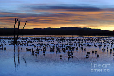 Snow Geese In Pond At Sunrise Art Print