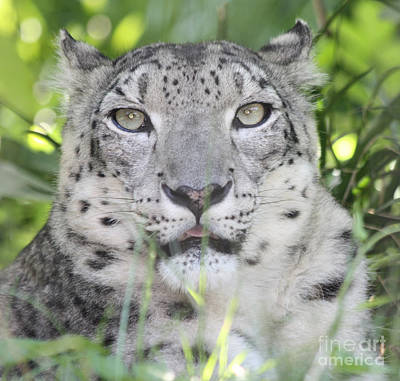 Photograph - Snow Leopard by John Telfer