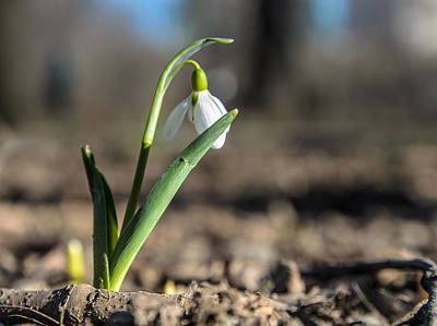 Photograph - Snowdrop Flower by Michael Goyberg