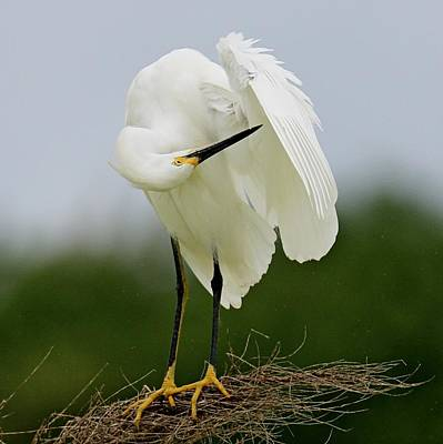 Photograph - Snowy Egret by Ira Runyan