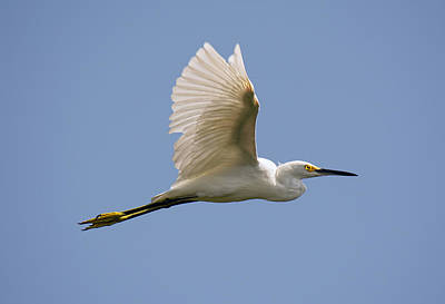 Photograph - Snowy Egret by John Black