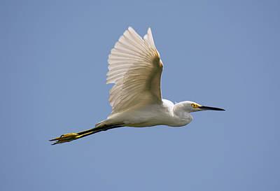 Photograph - Snowy Egret by John Black