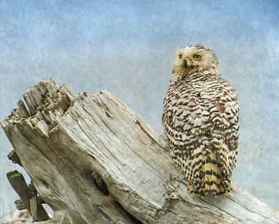 Photograph - Snowy Owl On Driftwood by Angie Vogel