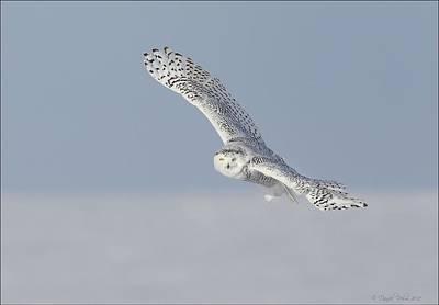 Photograph - Snowy Owl by Daniel Behm
