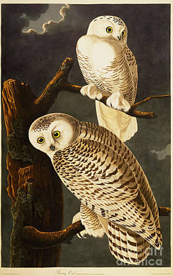 Animals Drawings - Snowy Owl by Celestial Images