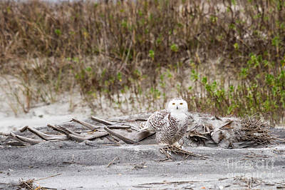 Rare Bird Sighting Photograph - Snowy Owl Little Talbot Island State Park Florida by Dawna  Moore Photography