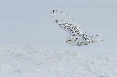 Art Print featuring the photograph Snowy Owl #2/3 by Patti Deters