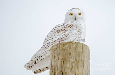 Photograph - Snowy Owl Perfection by Cheryl Baxter