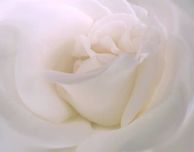 Florals Royalty-Free and Rights-Managed Images - Softness of a White Rose Flower by Jennie Marie Schell