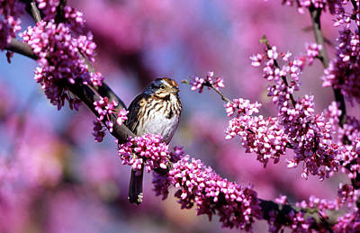 Cercis Photograph - Song Sparrow (melospiza Melodia by Richard and Susan Day