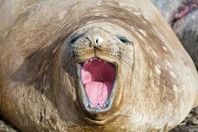 Haul Photograph - Southern Elephant Seal by Ashley Cooper