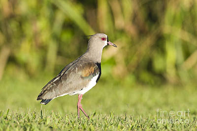 Lapwing Photograph - Southern Lapwing by William H. Mullins
