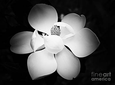 Photograph - Southern Magnolia by Nicola Fiscarelli